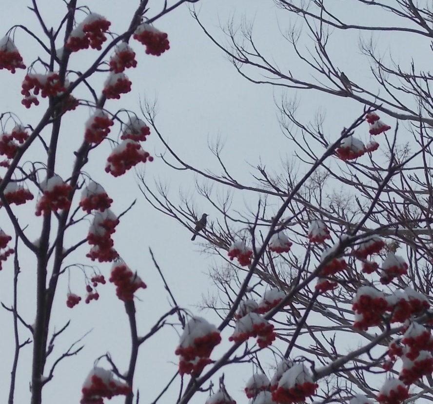 北海道の野鳥はナナカマドでサバイバル