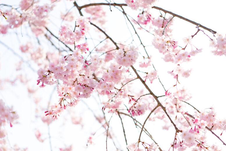 北海道の花見は、函館か松前