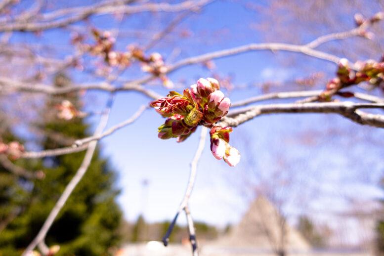モエレ沼公園の桜が咲くまで、札幌観光。